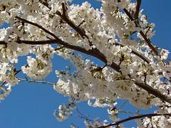 Flowering tree on the campus of James Madison University