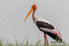 A Painted Stork on the lake banks