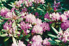 Rhododendron, May 1990