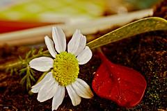 Flor caída