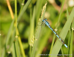 COMMON BLUE DAMSELFLY: Enallagma cyathigerum (M)