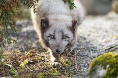 Approaching arctic fox