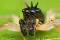 Maevia inclemens (dark morph) male jumping spider - Oklahoma