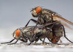 Mating sarcophagid(?) flies - Oklahoma