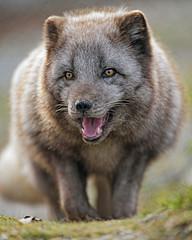 Happy arctic fox