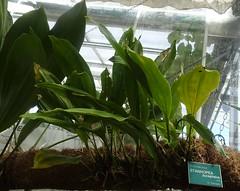 Stanhopea bucephalus  Jardin Botanique de Tourcoing