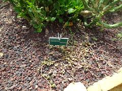 Senecio radicans Jardin Botanique de Tourcoing