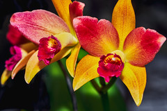 Beautiful Brassy Gold Orchid