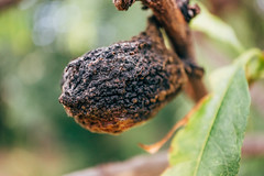 Isolated close-up of a rotten peach on a tree