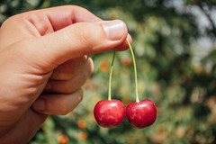 Close-up picture of a hand holding two fresh and beautiful cherries. Perfect produce