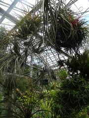 Tillandsia tectorum Jardin Botanique de Tourcoing
