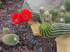 Cactus en fleur  Jardin Botanique de Tourcoing
