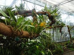 Trichopilia turialbae Orchidée, Jardin Botanique de Tourcoing