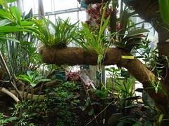 Oncidium (2) Jardin Botanique de Tourcoing