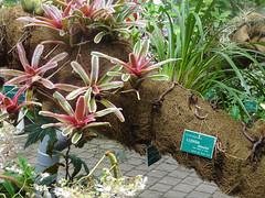Ludisia Jardin Botanique de Tourcoing