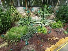 Aizoaceae Martynov Jardin Botanique de Tourcoing