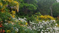 Azaleadalen in bloom