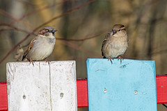 Two sparrows on the colorful fence