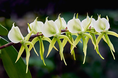Lovely Angraecum Alabaster Orchid