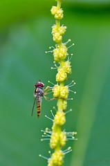 Syrphe sur fleur de châtaignier