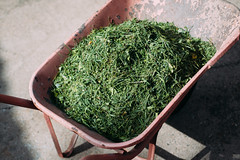 Freshly cut grass in a wheelbarrow