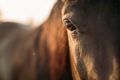 Close-up portrait of a horse with focus on its gentle large eye
