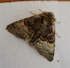 Nut-tree Tussock. form medionigra