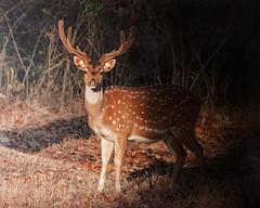 Deer @ Kabini Forest, Karnataka