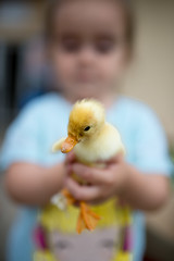 Focused picture of cute duckling with focused young girl that's holding her