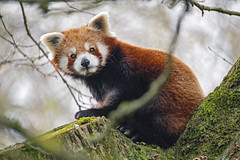 Red panda on the tree