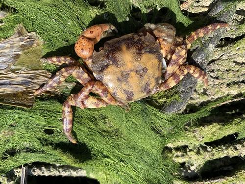 Hemigrapsus sanguineus (1)