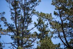 Falcon's Nest in the Pine