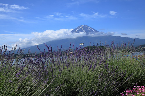 Lavender on the shores of Lake Kawaguchiko