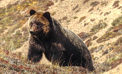 Grizzly or Brown Bear at Denali?