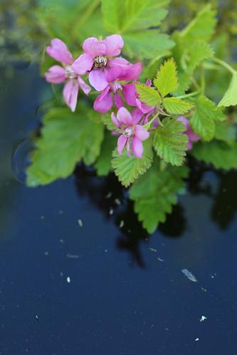 Mesimarja kukkii kosteikon reunalla, IKs Kuukausi kilpailu