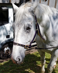 Horse drawn hearse horse City of London Cemetery 5