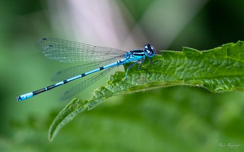 Blauwe waterjuffer - Libélula azul - Damselfly