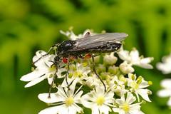 Red-thighed St Mark's Fly (Bibio pomonae)