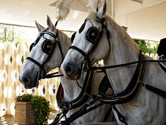 Horse drawn hearse horses City of London Cemetery 6