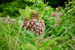 Asclepias syriaca (common milkweed), Mount Airy Mansion, Rosaryville. MD