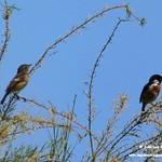 Aves en las lagunas de La Guardia (Toledo) 21-6-2020