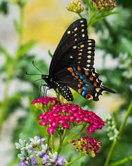 Black Swallowtail Butterfly in our Brooklyn rooftop garden