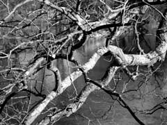 Tree at Ridgeview Park