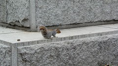 Squirrel in Farragut Square