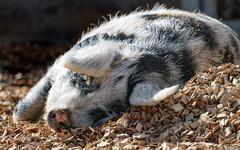 Turopolje sow lying in the sun