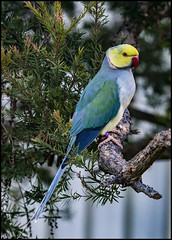 Ring necked parrot with yellow head-3=