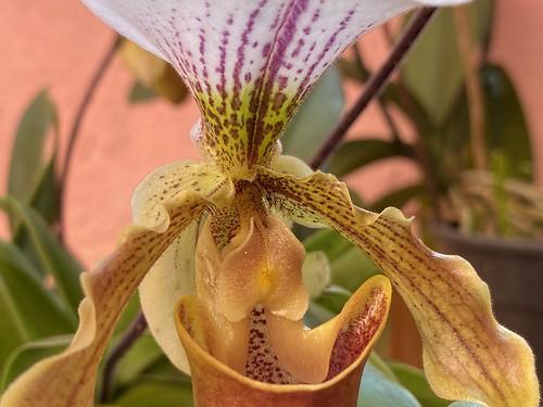 Sapatinho de Princesa (orchids) have just blossomed, São Caetano do Sul, SP, Brazil.
