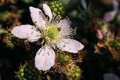 Beautiful blackberry flower with blackberies still growing around it