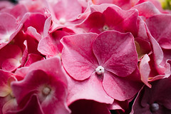 Close-up of beautiful pink flowers