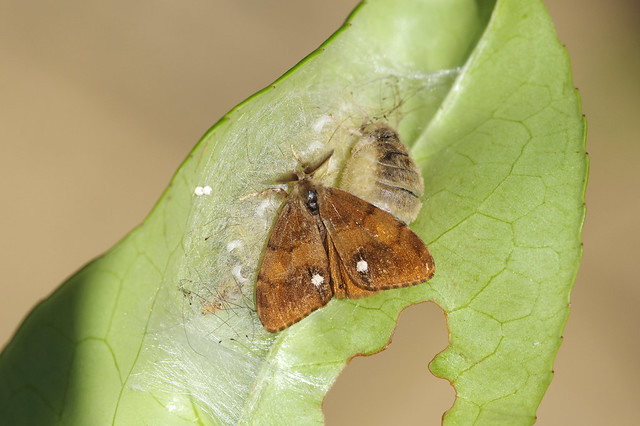 Photo:Vapourer moths By Will_wildlife